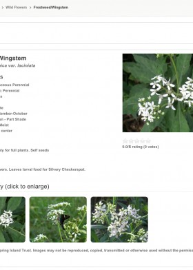 3_Frostweed_Wingstem